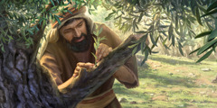 A man grafts a wild olive branch into the garden olive tree
