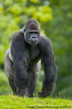 Ti western lowland gorilla