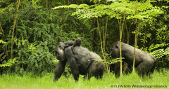 A family of gorillas