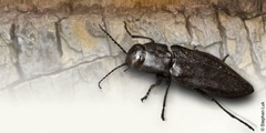 A black fire beetle