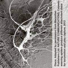 Pająk wytwarza pajęczynę oróżnej przyczepności
