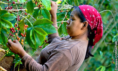 A woman picking coffee beans