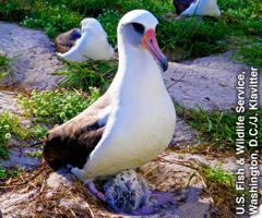 Laysan-Albatros[Bild auf Seite 3]