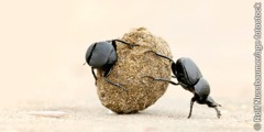 Two dung beetles rolling a ball of dung