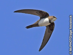Ang alpine swift