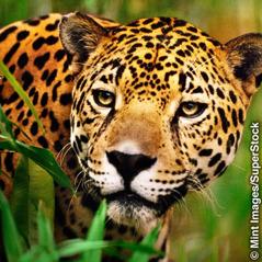En jaguar