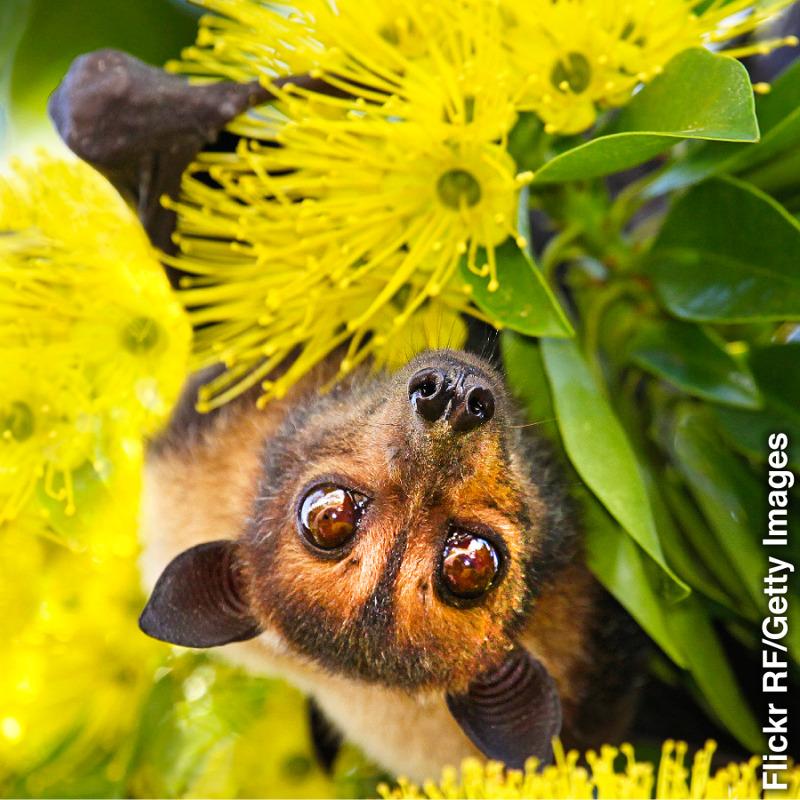 Um morcego-das-frutas