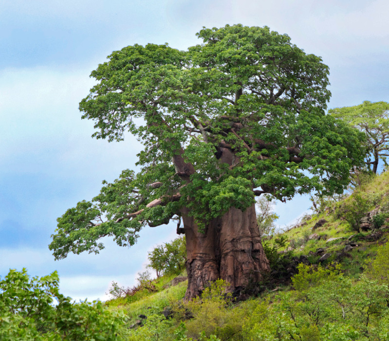 Um baobá