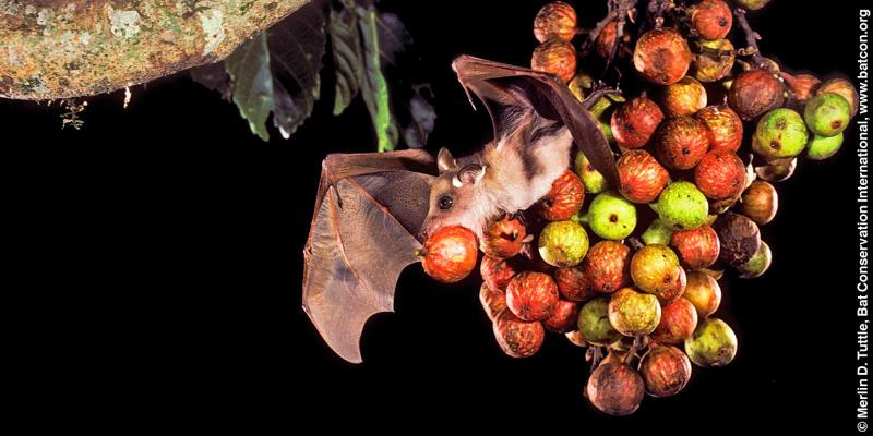 Um morcego-das-frutas come uma fruta de uma árvore