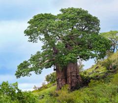 Ett baobabträd