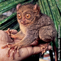 A tarsier sitting on a man's hand