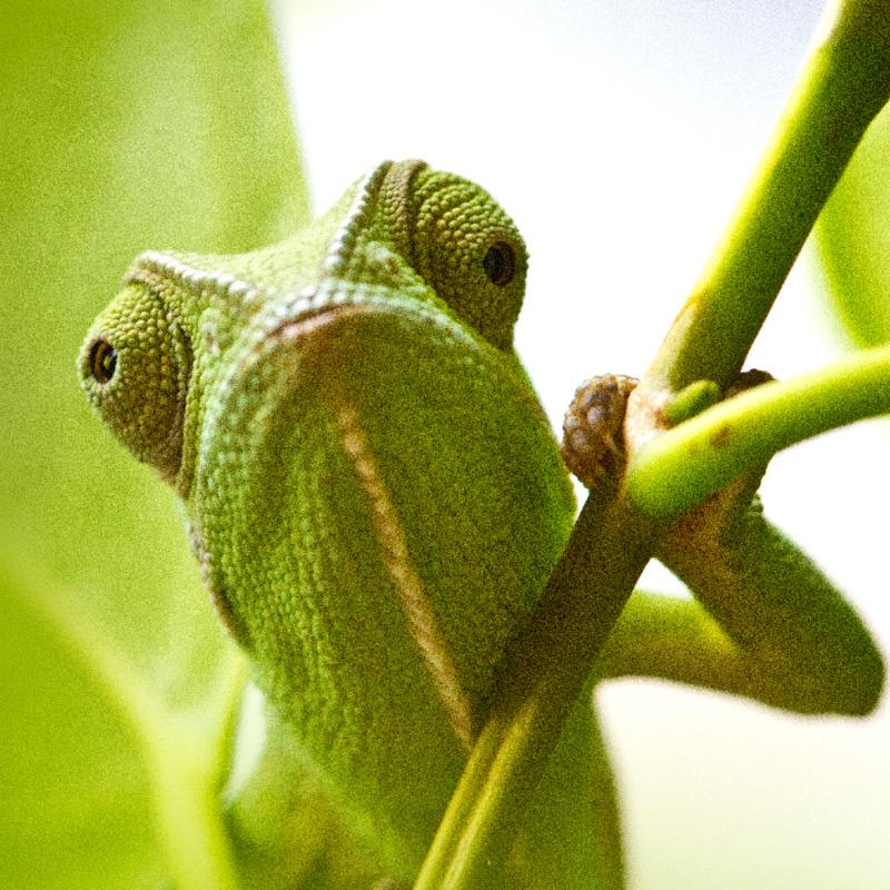 Un camaleón imita el color de una rama