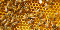 Honeybees working on their honeycomb