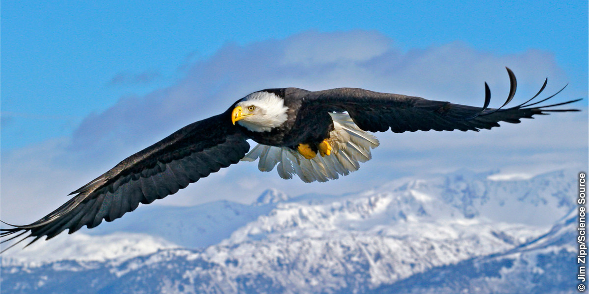 An eagle in flight with upturned wing-tip feathers