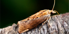 Nondo anayeitwa greater wax moth