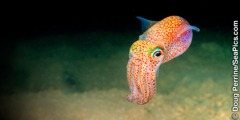 Bobtail squid ya Hawaii