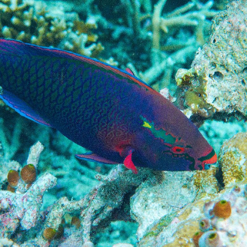 Un pez loro de tez oscura