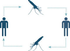Malaria cycle involving mosquitoes and humans