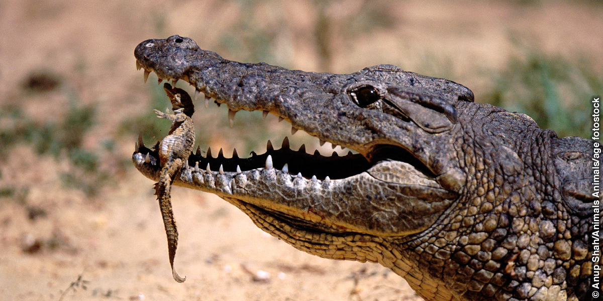 facts about the crocodile s jaw was it designed