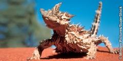 Ang thorny devil lizard