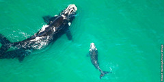A mother right whale and her calf