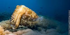 En blæksprutte