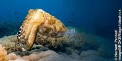 I-cuttlefish