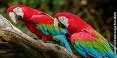 Mga green-winged macaw