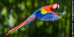 Iscarlet macaw