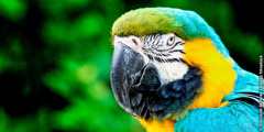 I-blue-and-yellow macaw