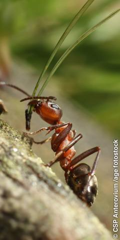 En myra som bär ett stort barr i munnen