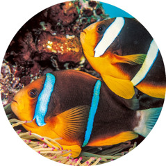 Two-banded clown fish