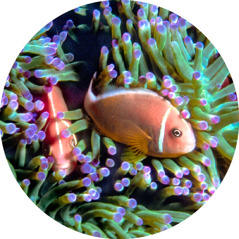 Pink skunk clown fish