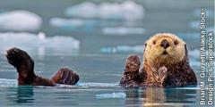 Anụ sea otter