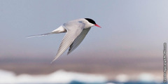 MaArctic tern