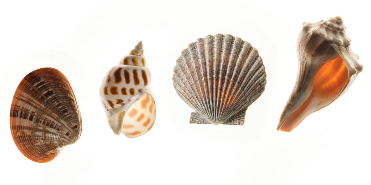 the shape of seashells was it designed