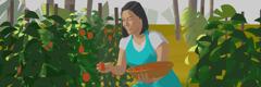 Nainen poimii hedelmiä