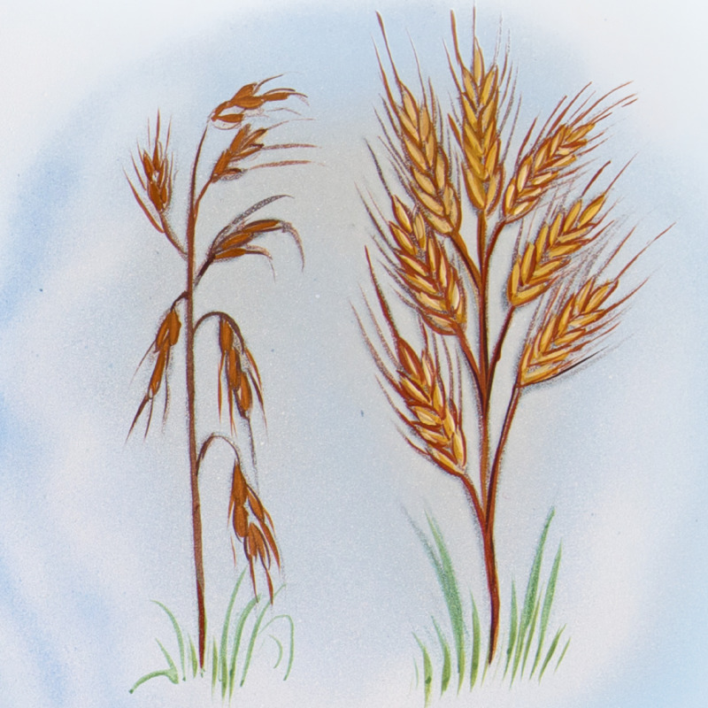 A thin, dried-out head of grain and a full, ripe head of grain