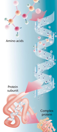 Skladba typické bílkoviny