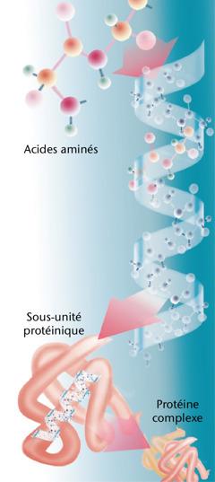 Les différentes parties d'une protéine