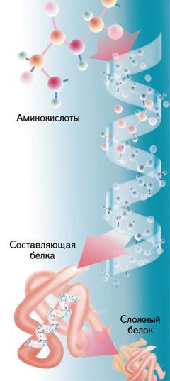 Строение обычного белка