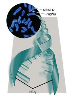 טלומרים וכרומוזומים