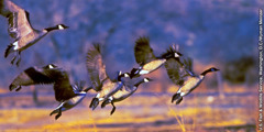 Instinctive wisdom in God's animal creatures: geese migrating together