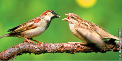 Two small sparrows