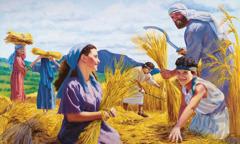 People gather sheaves of wheat