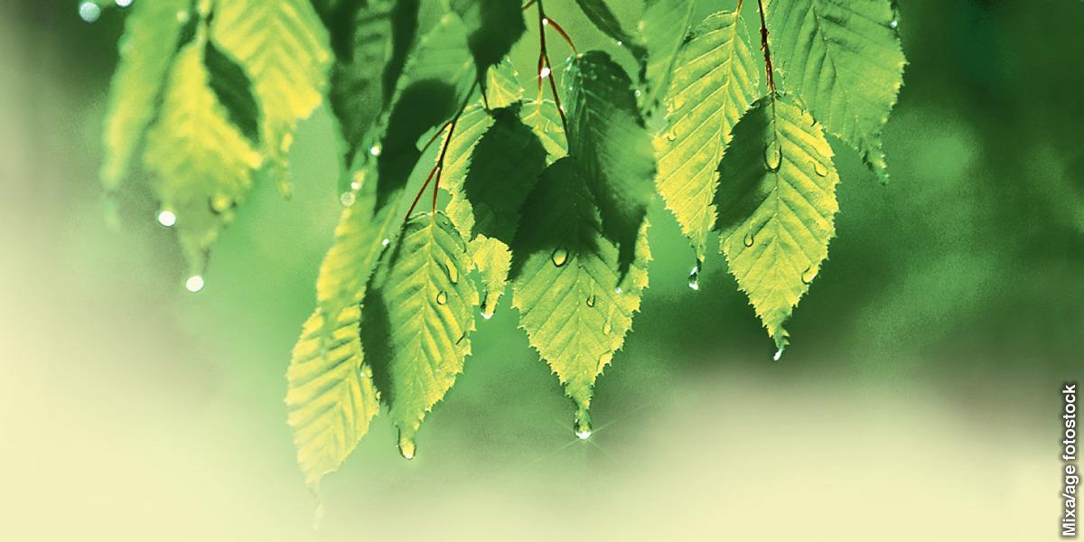 Folhas molhadas numa árvore