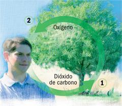 Los ciclos del dióxido de carbono y del oxígeno