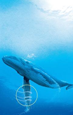 زعانف الحوت الاحدب