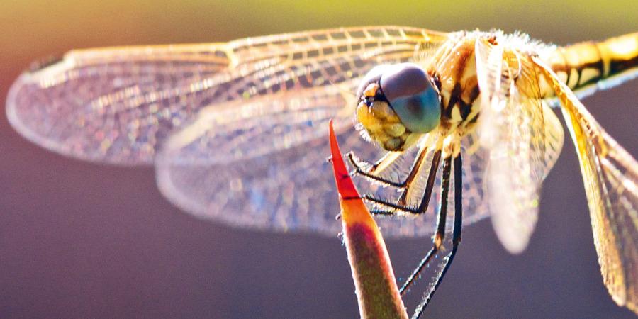 Resultado de imagem para olho de libelula