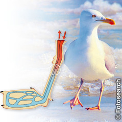 The countercurrent heat exchanger in a seagull's legs enable it to stand on ice